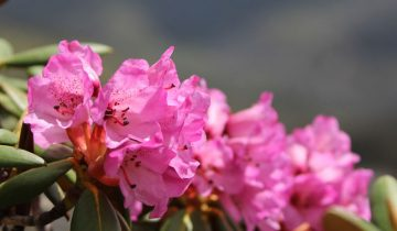 Rhododendron Festival Tour